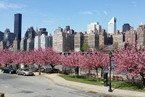 Cherry Blossoms +East River View